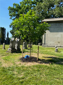 Red Chestnut tree planted to honor Don Hall