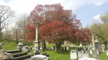 Japanese Maple with dying lead branch