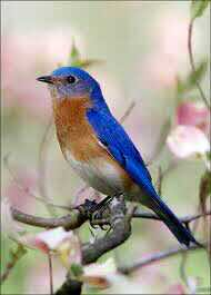bluebird on flowering branch