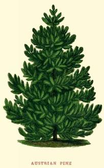 Austrian Pine image